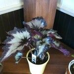 Begonia rex Leaf