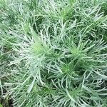 Artemisia spp.