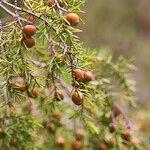 Juniperus oxycedrus Fruit