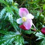 Begonia diadema