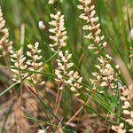 Lepidium nitidum Fleur