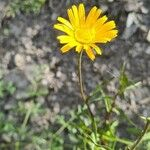 Buphthalmum salicifolium Fleur