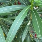 Nerium oleander Feuille