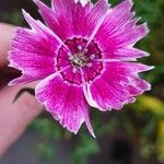Dianthus pavonius Cvet