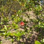 Punica granatum Kvet