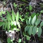 Sium suave Leaf