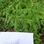 Anthriscus caucalis List
