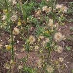 Conyza bonariensis Fleur