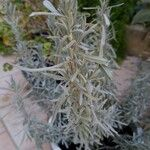 Lavandula angustifolia Blatt
