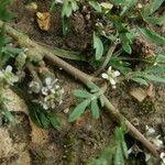 Lepidium squamatum