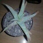 Aloe grandidentata