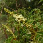 Croton flavens