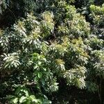 Dimocarpus
