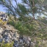 Pinus halepensis Leaf