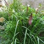 Cenchrus setaceus Pflanze
