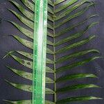 Chamaedorea binderi