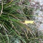 Carex colchica