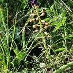Muscari comosum 花