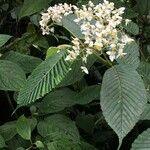 Begonia convallariodora