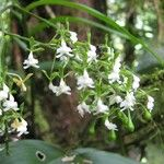 Epidendrum isthmi