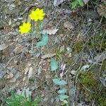 Blackstonia perfoliata Flower