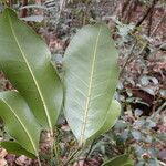 Sarcomelicope argyrophylla