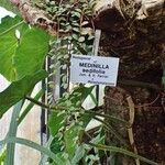 Medinilla sedifolia