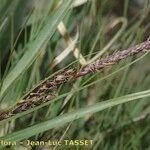 Carex fimbriata