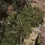 Paronychia sessiliflora