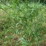 Atriplex oblongifolia