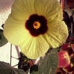 Hibiscus calyphyllus