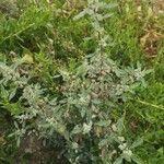 Atriplex laciniata 葉