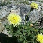 Urospermum dalechampii Fleur