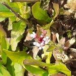 Capsella rubella