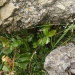 Berberis ovalifolia