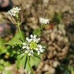Alliaria petiolata Fleur