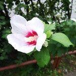 Hibiscus syriacus Blomst