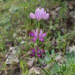 Lupinus hispanicus