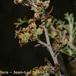 Artemisia barrelieri