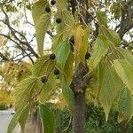 Celtis australis Leht