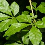 Anthurium microspadix