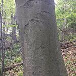 Fagus sylvatica Bark