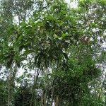 Triplaris melaenodendron
