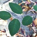 Cotoneaster granatensis