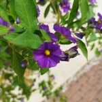 Solanum laciniatum Pflanze
