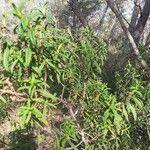 Cistus monspeliensis Leaf