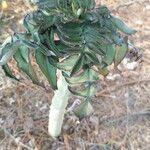 Bryophyllum proliferum