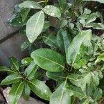 Tabebuia pallida Leaf