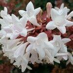 Abelia grandifolia