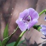 Artanema longifolium Kwiat
